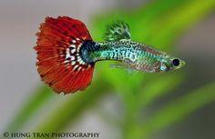 red tail cobra male guppy-guppy