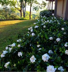 Gardenia outdoor plants are beautiful evergreen shrubs. These flowering outdoor plants grow best in areas and climates with hot summers and mild winters. Hedges Landscaping, Gardenia Plant, Garden Design, Plants, Backyard Landscaping, Southern Garden, Cool Plants, Luxury Garden, Outdoor Plants