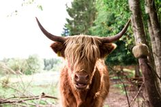 Yl?maan karjaa / Highland cattle http://www.kaspergaram.com/blogi-blog//ylmaan-karjaa-highland-cattle/9/2016