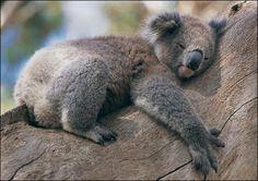 Google 画像検索結果: http://2.bp.blogspot.com/-keAWfA2ONHY/TaxW_1Y9LSI/AAAAAAAAAAY/3h_U5jwhxWs/s1600/koala_zoom.jpg