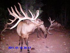 godddd do I wana go hunting. Big Game Hunting, Trophy Hunting, Deer Hunting, Elk Pictures, Deer Photos, Big Deer, Black Deer, Arizona Elk Hunting, Bull Elk