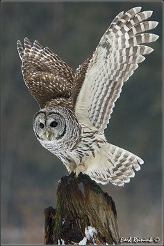 Barred Owl - We have only seen the mating pair together once on our property.