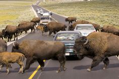 Have been in a buffalo jam at Yellowstone National Park and at Custer State Park.we were on motorcycles with no cage around us, scarrrey! Yellowstone Nationalpark, Yellowstone Park, Custer State Park, Places Ive Been, Places To Go, Travel Memories, South Dakota, My Happy Place, Wyoming