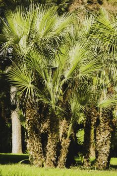 This European fan Palm has strong roots and short trunk compared to the other trees of the same family. It is a plant that is well adapted to our climate, even enduring temperatures of 10-12 centigrade degrees below zero.