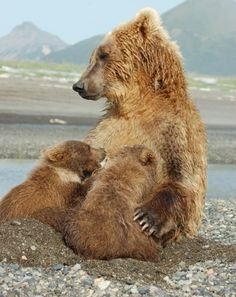 Mama Grizzly nursing her twins. I can identify with her more than I can with most human moms.