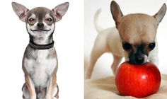 Bad dog! It's official...chihuahuas are the naughtiest canines