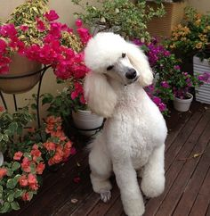 The traits we love about the Active Poodle Pup Cortes Poodle, I Love Dogs, Cute Dogs, Poodle Haircut, Poodle Cuts, French Poodles, Standard Poodles, Red Poodles, Tea Cup Poodle