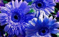 gerbere blu - Risultati Yahoo Italia della ricerca di immagini