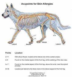 Acupoints for canine skin allergies