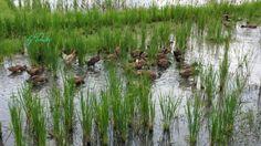 Rice field ducks