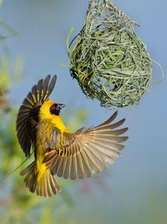 Southern Masked Weaver. The males construct multiple nests pending the approval of his mate. She inspects the home, and if she disapproves, she rips it apart to let it fall in the water below...and he has to start over. Taken in Pilanesberg, South Africa