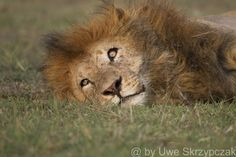 The king of animals in the portrait - look at those eyes  Kenya used to have one of the largest wildlife populations in the world but, in spite of a general ban on hunting, the number of animals-including lions-has decreased by as much as 75 percent in recent years ... reade more here in my article http://www.serengeti-wildlife.com/artikel_5_eisbaer_loewe_engl.php  @ by Uwe Skrzypczak