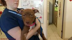 ~~EU DATE SAT., 02/11/17~~ 02/11/17 - HOUSTON- **SEE VIDEO**  SUPER URGENT - This DOG - ID#A477291  I am a female, brown and white Pit Bull Terrier mix.  The shelter staff think I am about 6 months old.  I have been at the shelter since Feb 08, 2017.  This information was refreshed 57 minutes ago and may not represent all of the animals at the Harris County Public Health and Environmental Services. https://www.facebook.com/harriscountyanimalsheltervolunteers/videos/449302968527282/