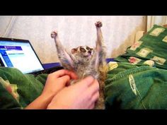 Tickle Slow Loris