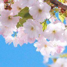 【vingt.trois.avril】さんのInstagramをピンしています。 《୨୧ おはようございます ︎ஐ。 ・ 淡いピンク色の桜と青空   ・ ・ ・ #hokkaido flowers ❀︎ #love ❁︎  昨年ハワイ挙式された お客様がご来店☺︎‧˚₊*̥ 映画のワンシーンのようなお写真✨ アルバム見せていただきました 挙式ドレスとタウンフォト用ドレス 素敵な思い出 ありがとうございます ❁︎ ❁︎  #はなまっぷ  #ロケフォト #weddingphoto  #nikon #nikontop #カメラ  #風景 #景色  #写真  #マクロ #macro  #macrophotography #パステル #ふんわり #桜 #pink #花 #cherryblossom #beauty #sky #likes #landscape #beautiful #weddingphotography  #リゾート #プレ花嫁  #ファインダー越しの私の世界》