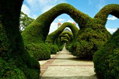 Since the 1960s strange topiaries have been carved in the center of Zarcero, Costa Rica, at the Parque Francisco Alvarado. This includes a tunnel of 16 arches leading right up to the Iglesia de San Rafael, along with dinosaurs, animals, and even Jesus sculpted from the plants.