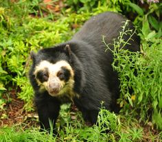 Peru is home to the only surviving bears in South America, the Tremarctos ornatus or Spectacled Bear (they can also be found in parts of Colombia, Venezuela and Ecuador). Description from beinglatino.us. I searched for this on bing.com/images