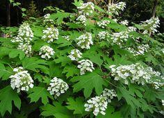 "Hydrangea quercifolia 'Pee Wee' ""Oakleaf Hydrangea"" Goes deciduous in Winter, but no worries - it has attractive peeling bark!"