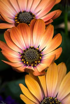 Shade Garden Flowers And Decor Ideas African Daisy Exotic Flowers, Amazing Flowers, My Flower, Beautiful Flowers, Daisy Flowers, Daisy Daisy, Orange Flowers, Bouquet Champetre, Dream Garden