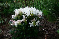 Forum Ogrodnicze Oaza :: Topic: Różanecznik 'Cunningham's White' (1/3)