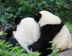 Panda bear loves...ok, my heart just melted into a mush puddle! <3