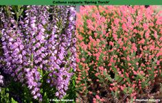 The Heather Society | 'Spring Torch' Portland Garden, This Is Us, Landscape, Spring, Green, Flowers, Plants, Florals, Plant
