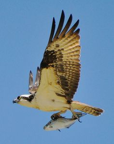 Osprey flies high over the James River with fresh catch at Chippokes Plantation State Park, Virginia