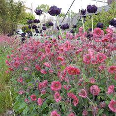 Nejlikrot 'Bell Bank' Garden, Plants, Garten, Lawn And Garden, Gardens, Plant, Gardening, Outdoor, Yard