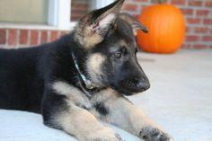 Bear, the German Shepherd on Daily Puppy.