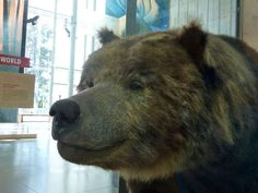 CALIFORNIA State Animal: California Golden Bear Fun Fact: The California golden bear, or California grizzly bear, is extinct. The last one was killed in 1922.