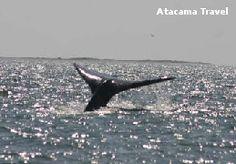 Balene - Baja California, Atacama Travel