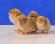 Cinnamon Queen Chickens - Baby Chicks for Sale | Cackle Hatchery