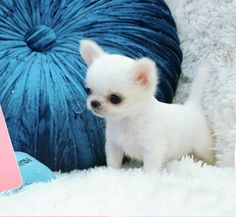 This is the sweetest little thing.... ---- Love Your Chihuahua?? Visit our website now!