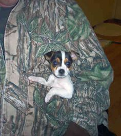Miniature Rat Terriers - Dogs - I just want this puppy Rat Terrier Dogs, Toy Fox Terriers, Cute Puppy Pictures, Dog Pictures, Rat Dog, Baby Animals, Cute Animals, Jack Russells, Dog Art