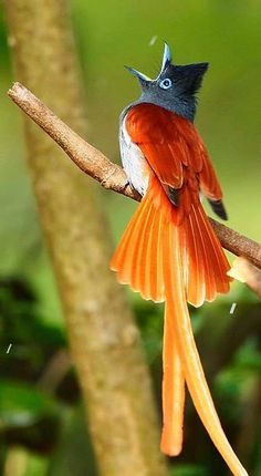 The African paradise flycatcher (Terpsiphone viridis) is a medium-sized passerine bird with a very long tail. It is a common resident breeder in Africa south of the Sahara Desert. Kinds Of Birds, All Birds, Love Birds, Pretty Birds, Beautiful Birds, Animals Beautiful, Beautiful Pictures, Amazing Photos, Exotic Birds