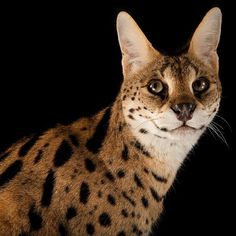 photo by @joelsartore | A serval at the @fortworthzoo in #Texas. #Follow me to learn more about the #PhotoArk! #nikonambassador #photooftheday