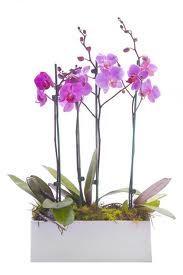 Fushia orchid