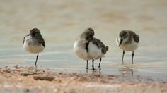 Google Image Result for http://ak2.picdn.net/shutterstock/videos/2587436/preview/stock-footage-birds-on-the-beach-in-ria-largartos-mexico.jpg