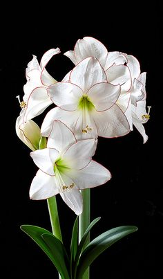 Amaryllis Picotee...love the purity and delicacy of this plant:)