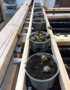 """In thisepisode of""""Gastropod,"""" a visit with Ric Brewer, owner of Little Gray Farms, to learn what it takes to raise the """"shrimp of the land,"""" including purging, de-sliming, and kinky snail sex."""