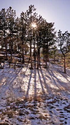 Colorado Trees