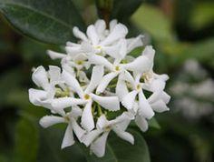 June to August: Trachelospermum jasminoides  star jasmine