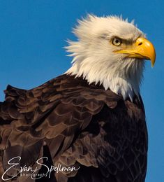 hanging out on windy day by Evan Spellman on YouPic Bald Eagles, Windy Day, Hanging Out, Birds, River, Animals, Animales, Animaux, Bird