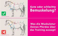 Bemuskelung Pferd Training
