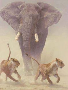 Un elefant aleargă două leoaice
