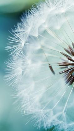 Dandelion Flower - The iPhone Wallpapers
