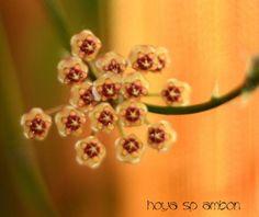 Hoya-Ambon-caramel-scent-cutting-Plant-Pflanze-Wachsblume-Wax-plant