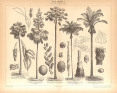 1896 Palm Trees Palmyra Palm Talipot Palm by CabinetOfTreasures