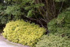 Golden Euonymus Euonymus japonicus 'Aureo-marginatus' USDA Hardiness Zone: 6 - 9  An excellent choice for colorful hedges, this e...