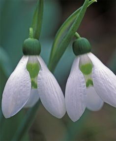 Giant Snow Drops - Galanthus elwesii - Galanthus - Best of the Rest - Flower Bulbs Index